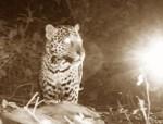 Santa Rosa, Costa Rica: A camera trap catches a Jaguar killing a turtle at night.  (Photo Credit: © Ammonite Limited / Trap cam)